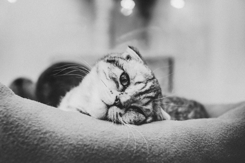 cat in greyscale by Nastya Dulhiier on Unsplash